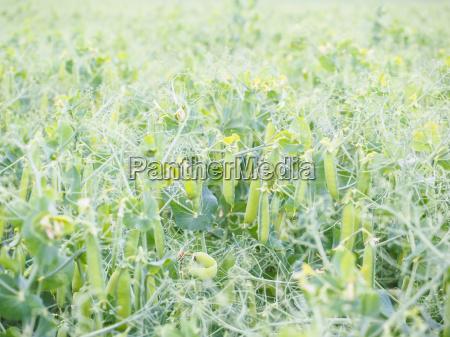 landwirtschaft ackerbau feld gemuese spielfeld pflanzlich