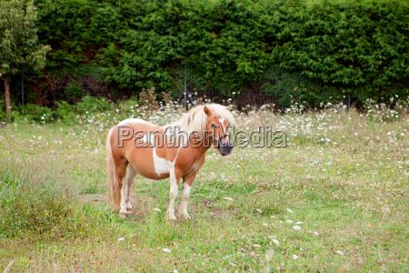 braunes pony weidet in einer wiese