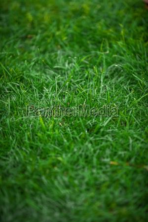 schuss von ungeschnittenem frischem gruenem gras