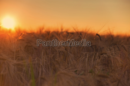cornfield in the sunset