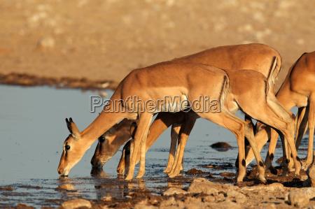 impala antelopes at waterhole