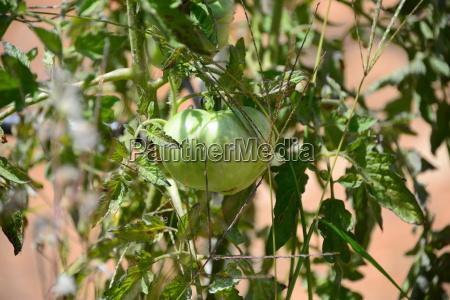 grUEne tomaten spanien