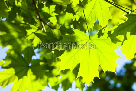 gruene ahornblaetter im sonnenschein