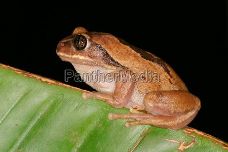 tier amphibie fauna afrika frosch naechtlich