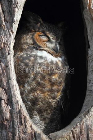 grosse horned owl bubo virginianus