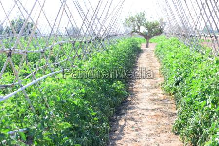 tomatenblUEte tomaten spanien