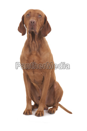sitzt unschuldig hund