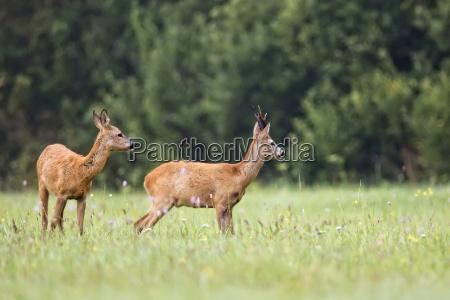 buck-hirsch, mit, reh, in, freier, wildbahn - 12316404