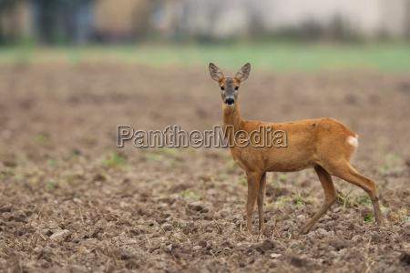 roe deer in the wild
