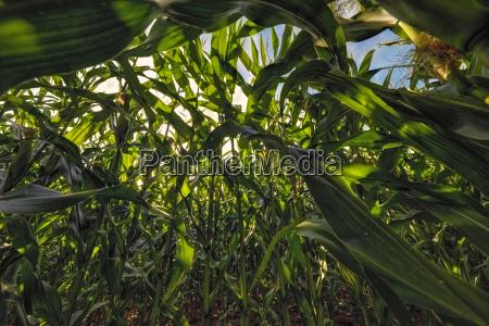 cornfield froschperspektive