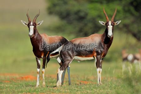 blesbok antelopes