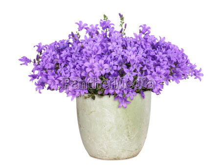 campanula isolated