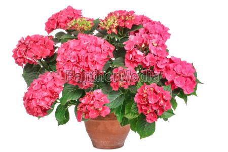 pink hydrangea hydrangea isolated