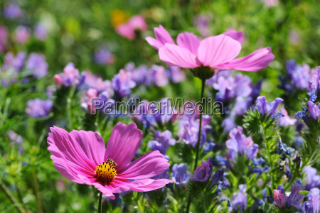 garden flowers with cosmea and natternkopf