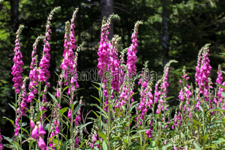 foxgloves for alternative medicine