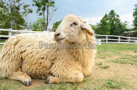 mentira oveja granja recinto esgrima valla