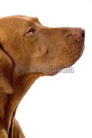goldene farbe hundeportraet
