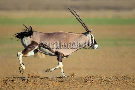 running gemsbok antelope