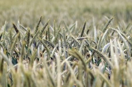 ahre weizen weizenfeld getreide nahrung nahrungsmittel