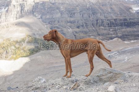 berge tier hund golden alpin goldgelb