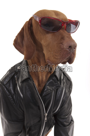 dog in leather jacket wearing sunglasses