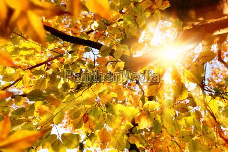 autumn sun shines through beech leaves