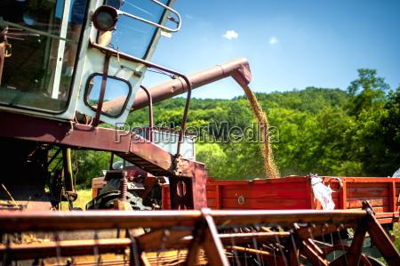 industrial combine harvester unloads wheat grain