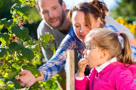 family picking blackberries in the garden