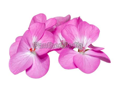 rosa pelargonie palargonium x hortorum blumen