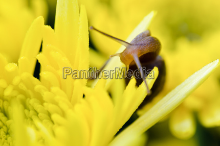close up snail auf gelben chrysanthemen