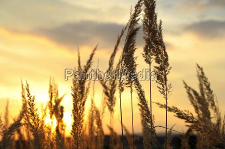 hohes gras im sonnenuntergang