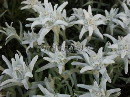 Edelweiß, AlpenEdelweiß, Pflanze, Pflanzen, Natur, Umwelt - 12576174