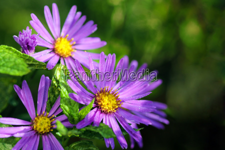 aster in the morning with dew