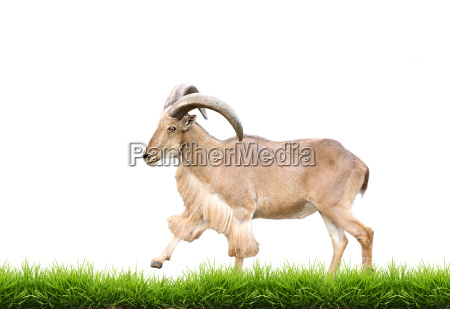male barbary sheep with green grass