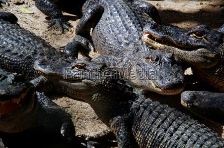 eine versammlung amerikanischer alligatoren
