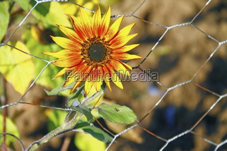 flower flowers plant summer summerly sunflower