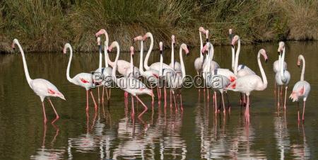 flamingos phoenicopterus roseus camargue frankreich
