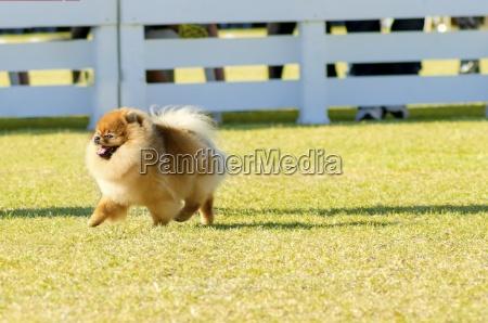 pommersche hund