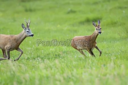 buck deer with roe deer on
