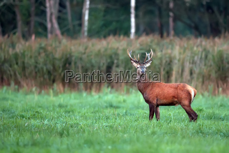 red deer in a clearing in
