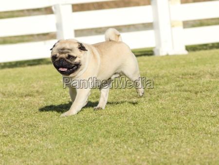 pug, dog - 12679698