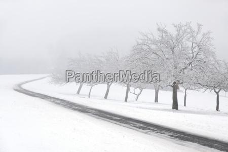 snowy fruit trees in the fog