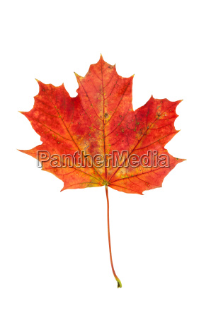 red autumn maple leaf isolated on