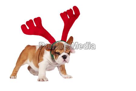 weihnachtsbulldogge