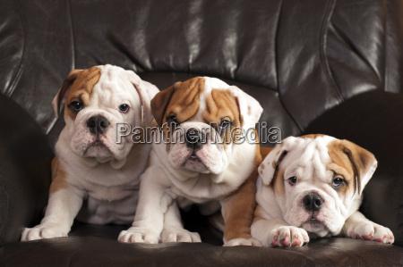 englische bulldogs
