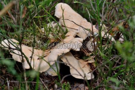 albatrellus confluens in forest