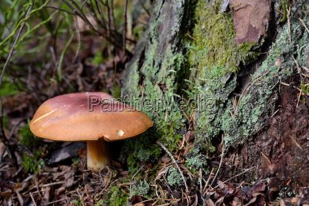 holzritterling beside tree trunk