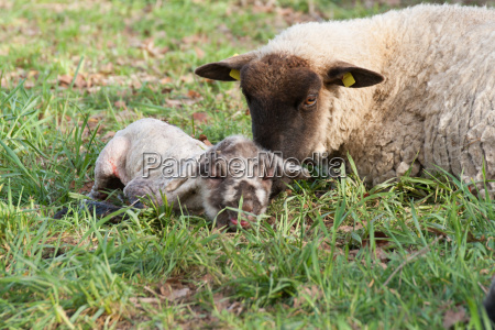 schaf mit neugeborenem lamm