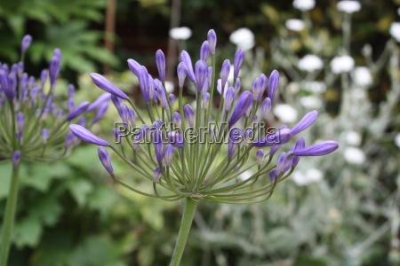 schoene blaue lila blueten
