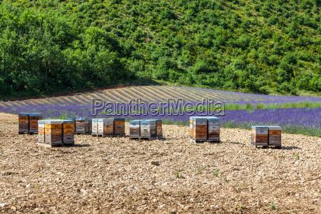 bienenstock in der naehe von lavendelfeld